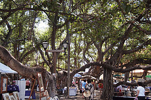 Foto: Der Banyon Tree in Lahaina.